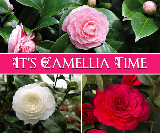 It's Camellia Time